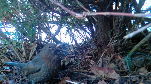 Musträstas / Common blackbird (Turdus merula)