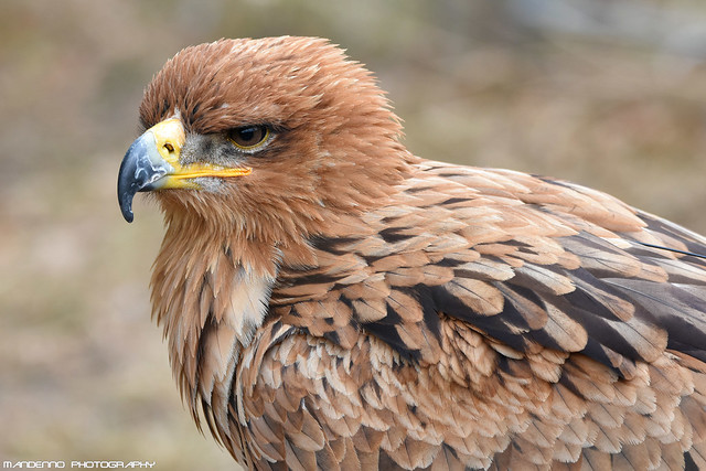 Savannah eagle