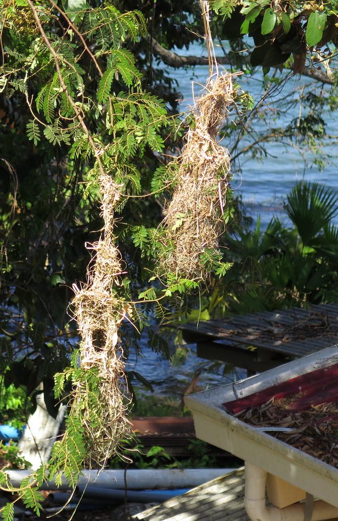 Yellow-rumped Cacique nests; 20180305; PA-Colón-Barro Colorado Island