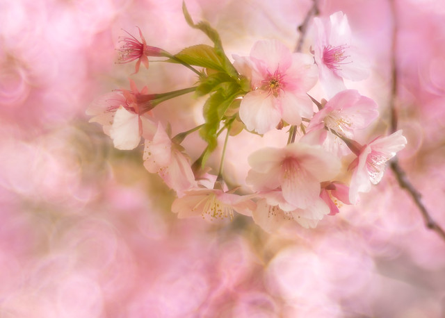 Early cherry blossoms ✿