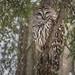 Barred Owl (Strix varia) by ER Post