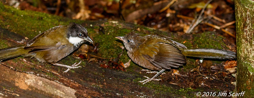 Adult Eastern Whipbird feeding a juvenile bird   by Jim Scarff
