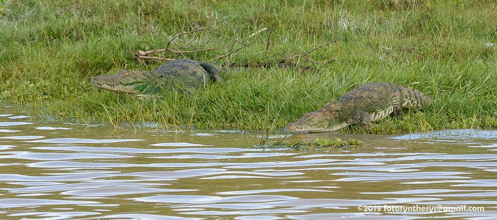 Mugger Crocodile (Crocodylus palustris) DSD_5220