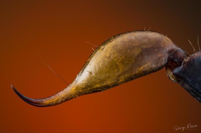 Euscorpius flavicaudis