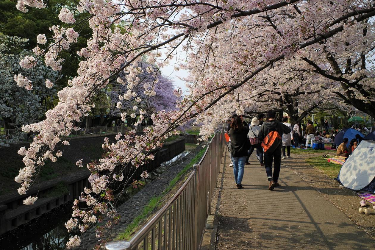善福寺川公園の桜並木