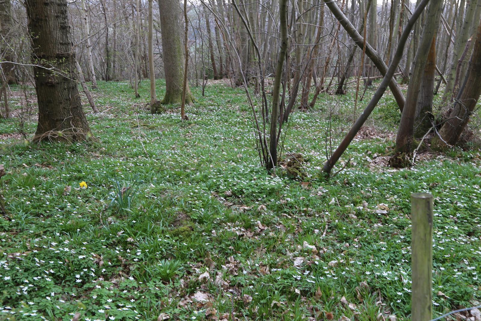 Lots of Wood Anemones - near Harrisons Rocks