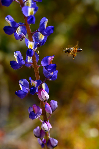 Blue Lupine | by PhotosByGLP