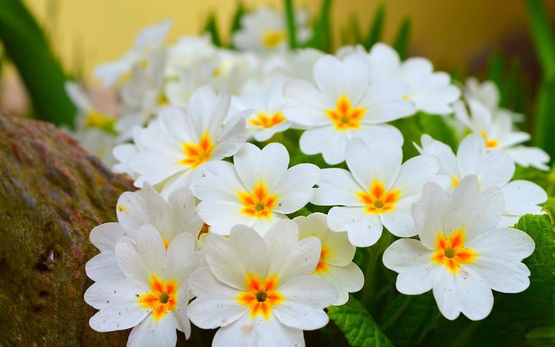 Обои Весна, Spring, Цветение, примула, Flowering, Primula картинки на рабочий стол, раздел цветы - скачать