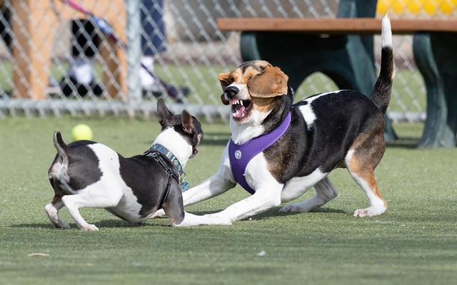 dogs_wrestling-20190323-100-3