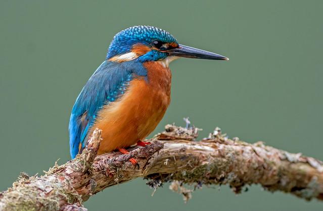 DSC6348 Kingfisher...