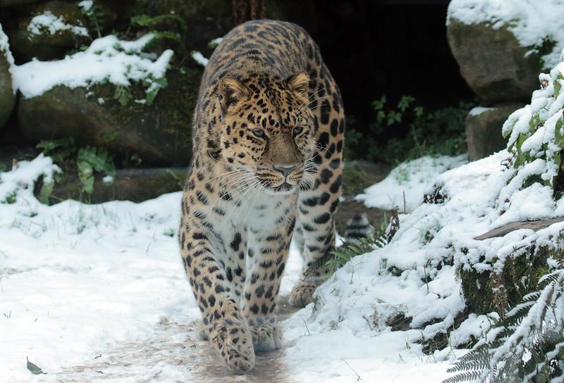 amurleopard Blijdorp 094A1630