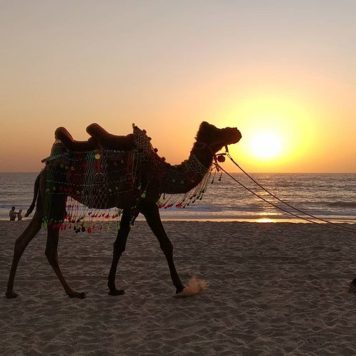 It looks like the invasion of North Indians in Goa is becoming a little too much! :) #goa #camel #beach #sunset #india #agonda | by Scalino