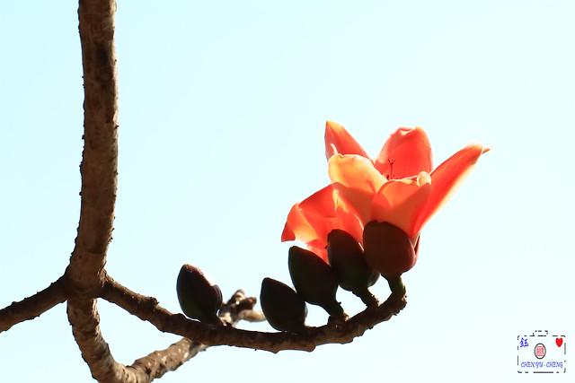 木棉花-Kapok