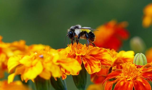 Himalayan Bumblebee on Big Marigold - Eastern Himalayas