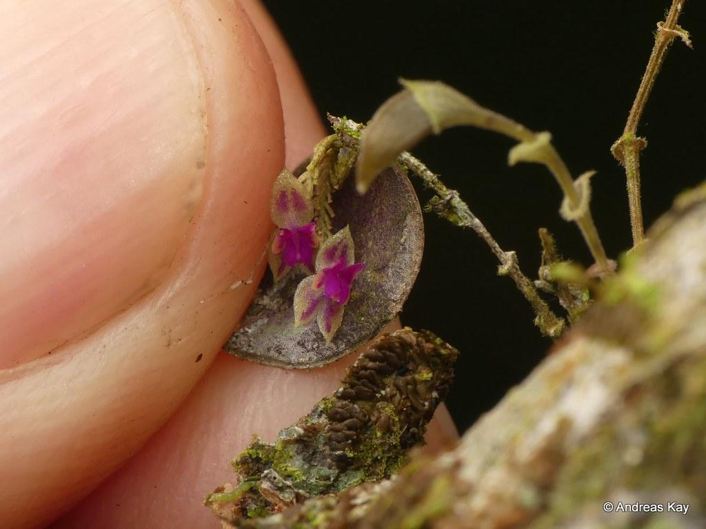 Miniature Orchid, Lepanthes stegastes?