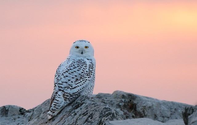 Snowy Owl in the Sunset... EXPLORED 2/10/19
