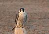Halcón Peregrino, Peregrine Falcon (Falco peregrinus) by Francisco Piedrahita