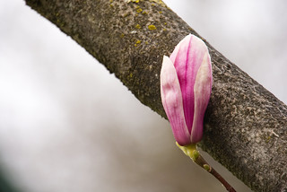 Magnolia | by MarkusR.