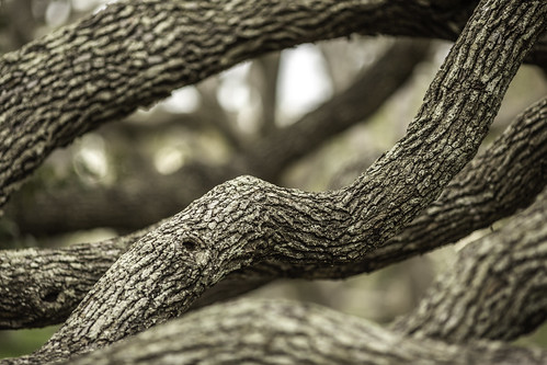 texas thebigtree usa attraction bark branches brown image intimatelandscape landmark limbs oaktree oaktrees photo photograph texture touristattraction tree trees twisting f28 mabrycampbell march 2019 march162019 20190316mabrycampbellh6a5018 200mm ¹⁄₂₀₀sec 400 ef200mmf28liiusm