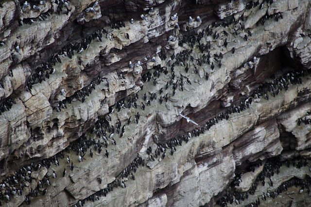Guillemots on Handa Island