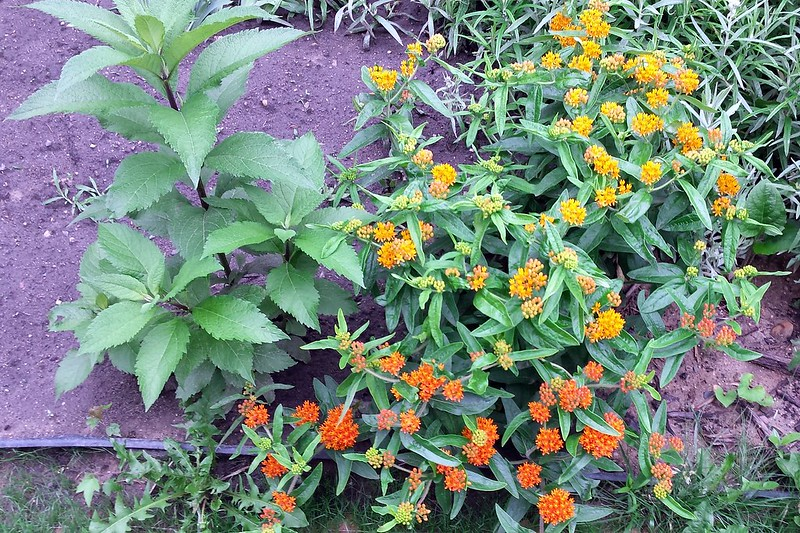 One plant with orange flowers, light on the top and dark on the bottom.