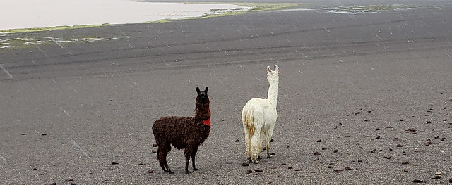 Llamas, the Red Lagoon (Laguna Colorada) at 4,278m. (14,035 ft.), Altiplanos Bolivianos (Bolivian Highlands) at 4,300., Potosí, Bolivia.