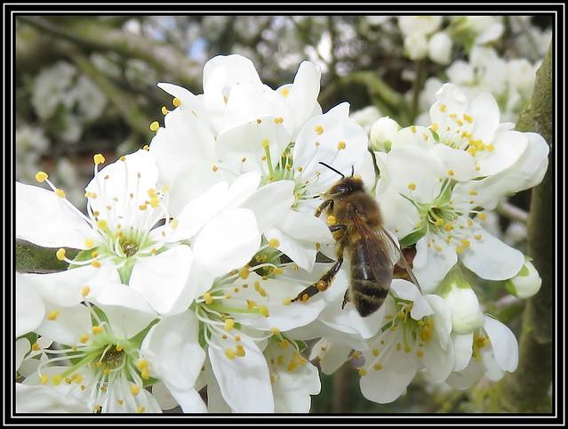 Honey Bee On Damson Blossom