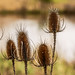 Faded thistles by Peter u Hilde