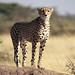 Cheetah, Piaya Serengeti Tanzania
