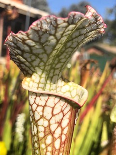 Autumn pitchers of Sarracenia leucophylla, 2018-19 season.