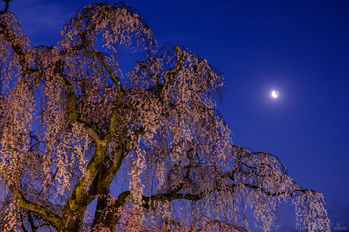 At dawn, The weeping cherry blossoms have a dream of the moon.
