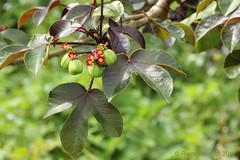 IMG_7403 Jatropha gossypifolia