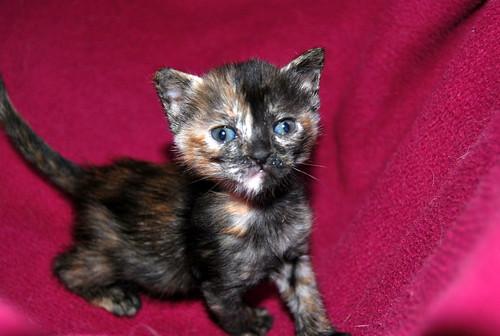 Narubi, gatita carey de cara bicolor amorosa esterilizada, nacida en Marzo´19, en adopción. Valencia RESERVADA. 33722582008_48f47434aa
