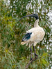 Australian White Ibis (Threskiornis moluccus) by David Cook Wildlife Photography