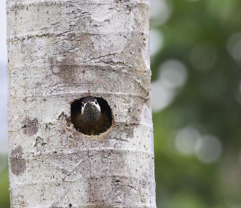 Spot-breasted Woodpecker, Colaptes (Chrysoptilus) punctigula Ascanio_Amazon Cruise 199A9127