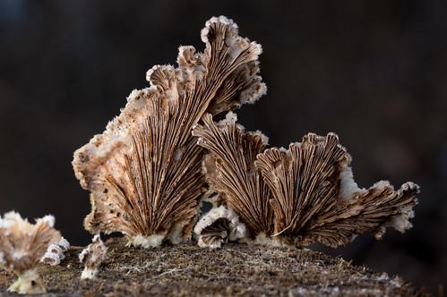 Split-gill mushroom (Schizophyllum commune)   by nervous system