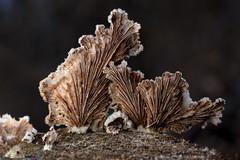 Split-gill mushroom (Schizophyllum commune)