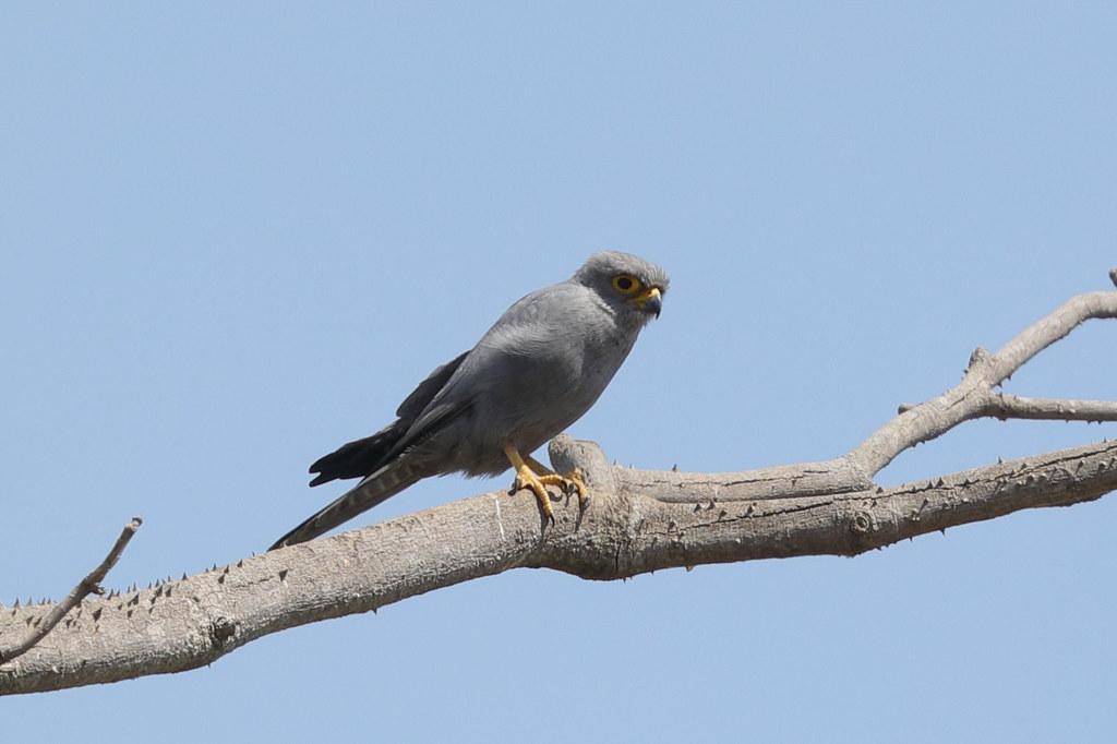 Grey Kestrel Falco ardosiaceus