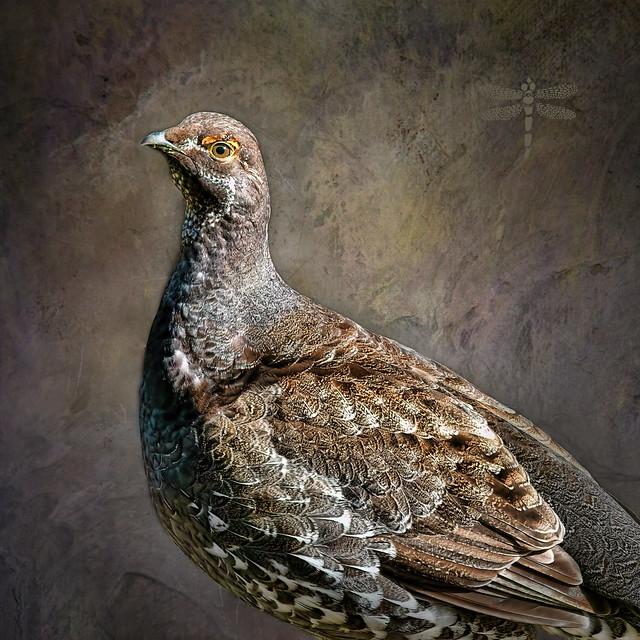 sooty grouse (Dendragapus fuliginosus) . . .
