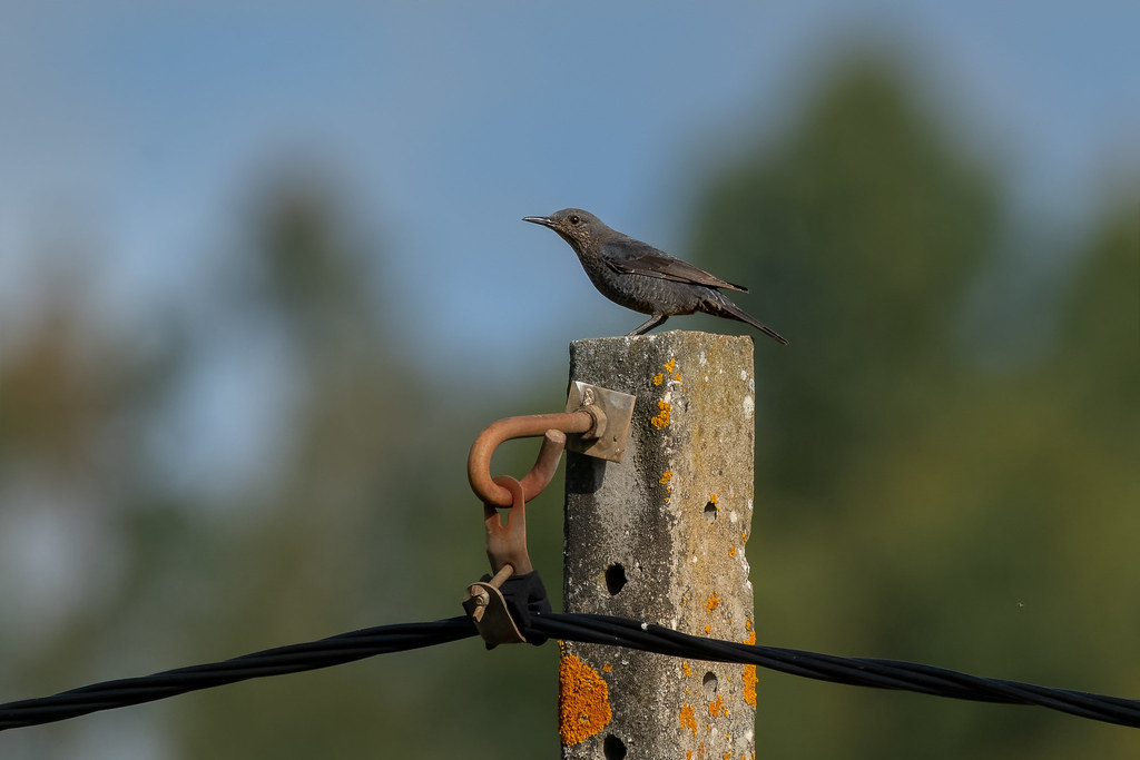 Female Blue Rock Thrush - Melro-azul (fêmea) - Monticola solitarius