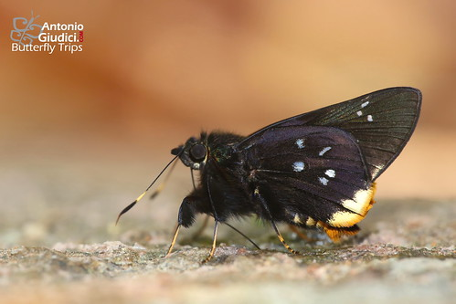 The Nonsuch Palmer - ปาล์มลายหนึ่ง | by Antonio Giudici Butterfly Trips