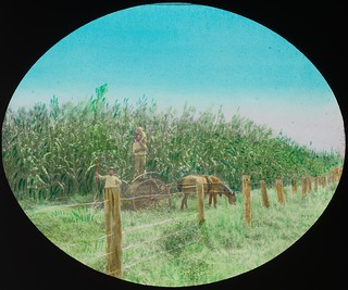 Farmers in a field of maize, Alton Downs, Queensland, ca. 1910