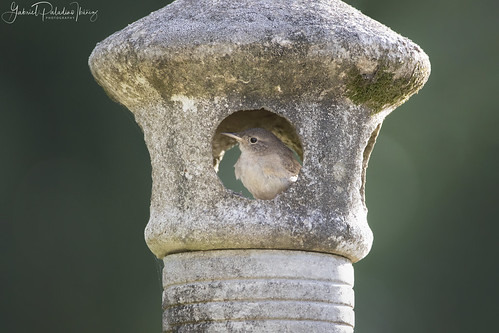 House Wren | by Gabriel Paladino Photography