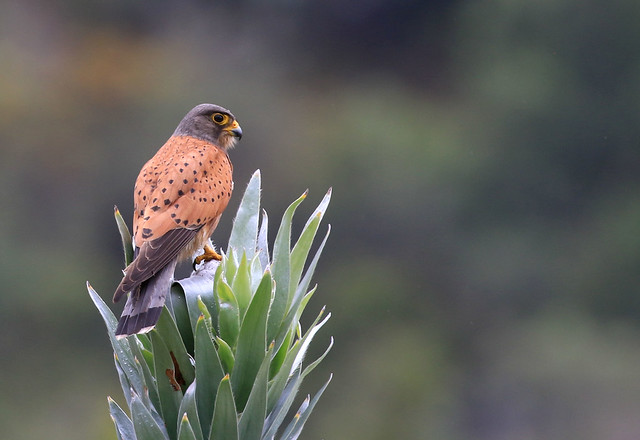 Crécerelle des rochers - Kirstenbosch Botanical Garden/Western Cape/South Africa_20181120_271