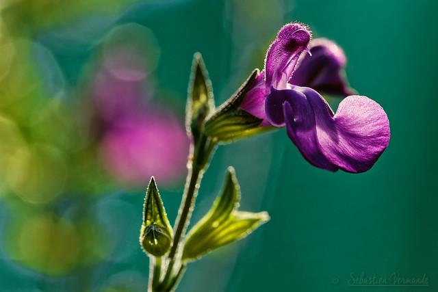 Purple shrub sage - Sauge arbustive violette