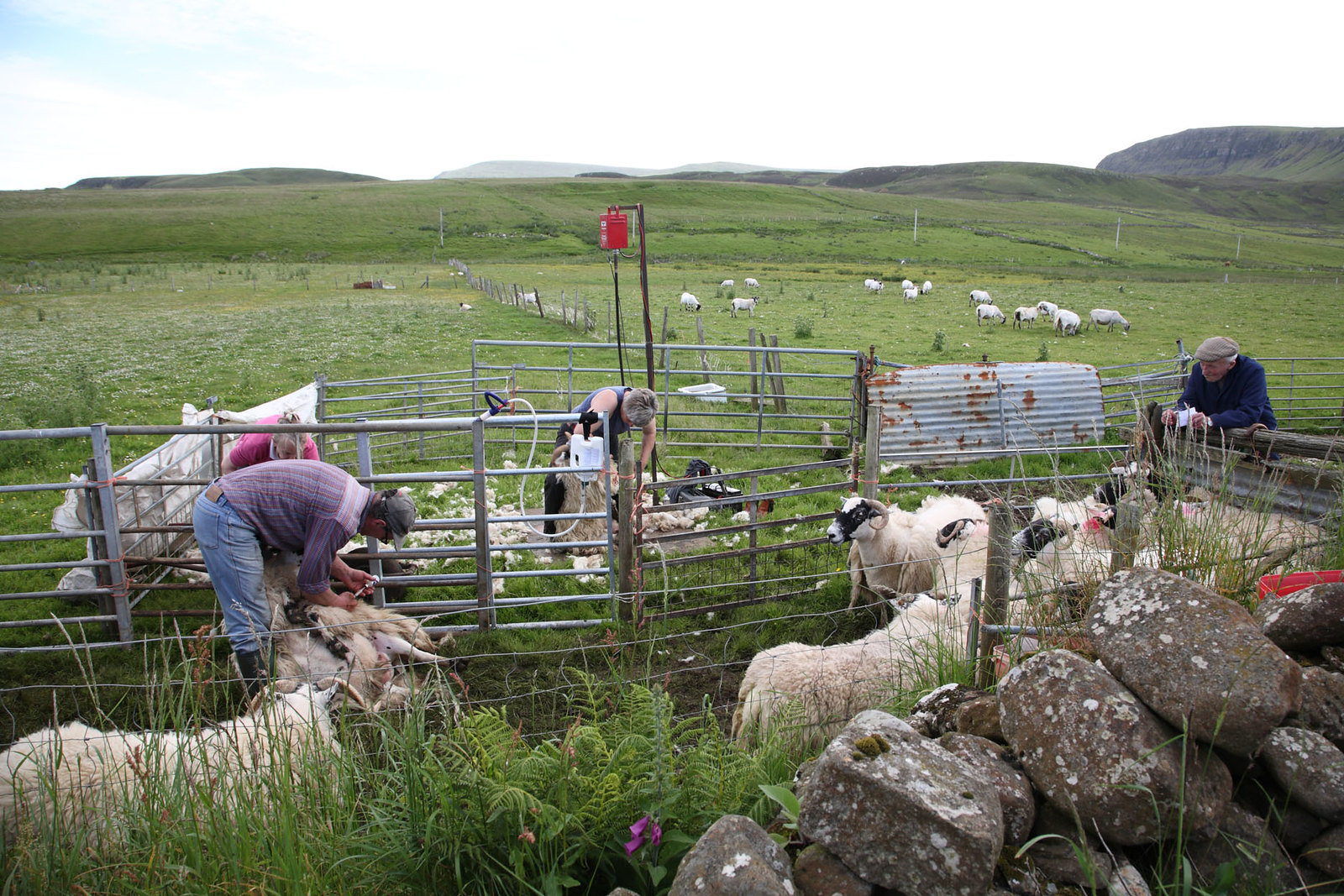 Shearing sheep