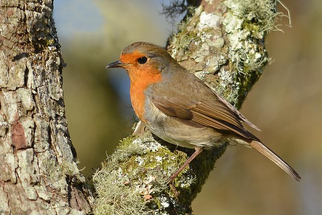 Robin (Carole's)