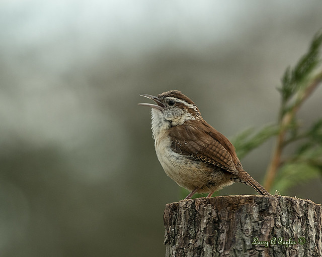 Male Carolina Wren Singing