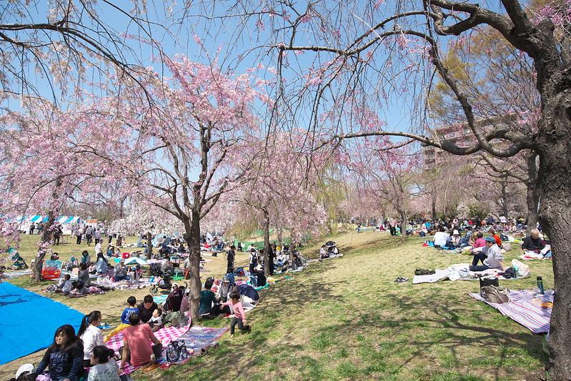 尾久の原公園 シダレザクラ祭り 2019年4月6日(土)
