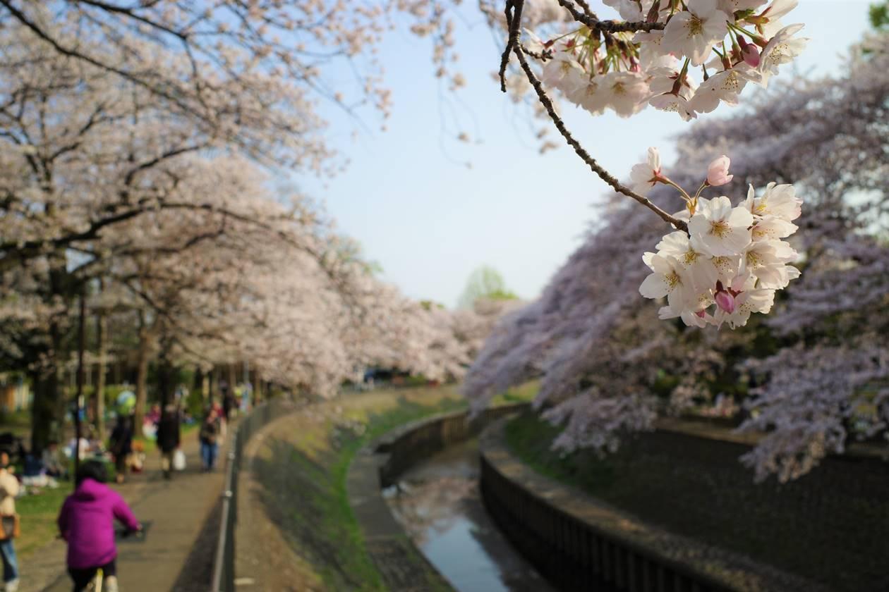 善福寺川公園の桜風景